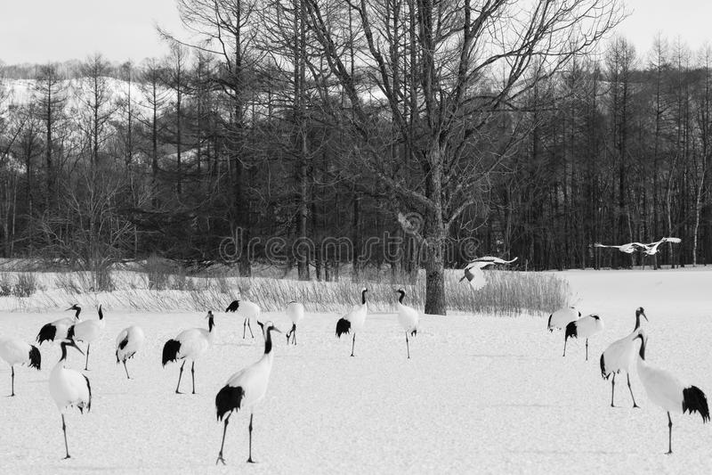 Japaner Crane Life im Winter lizenzfreies stockbild