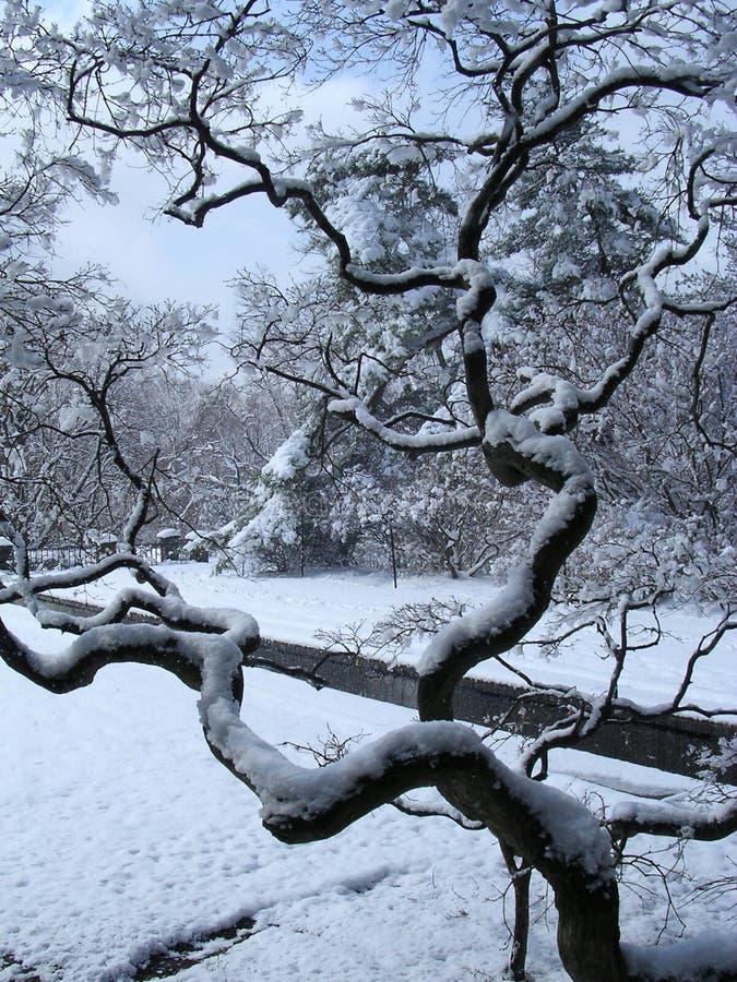 japanes zimy klonów obrazy stock