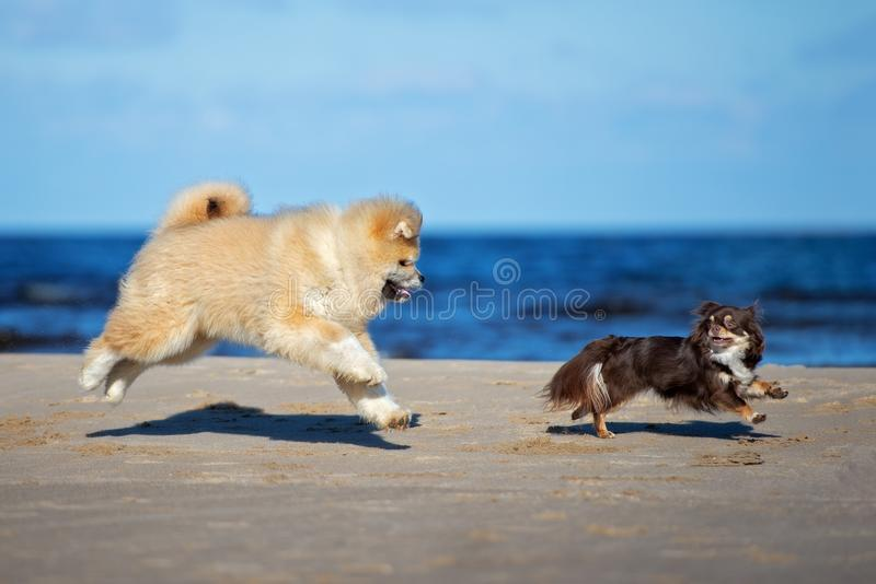 Two dogs playing together on the beach royalty free stock images