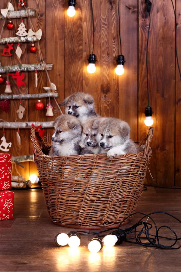 Japanese Akita-inu, akita inu dog puppys sits on a the New Year`s background stock photography