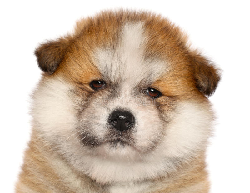 Download Japanese Akita-inu Puppy Stock Photography - Image: 23876352