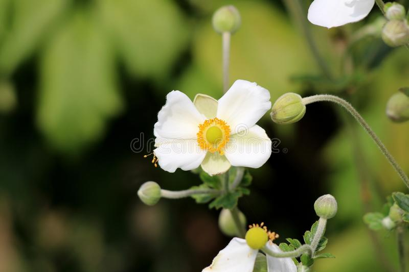 Japanese anemone or Anemone hupehensis flowering plant with flower containing white sepals and yellow stamens surrounded with. Japanese anemone or Anemone royalty free stock photography