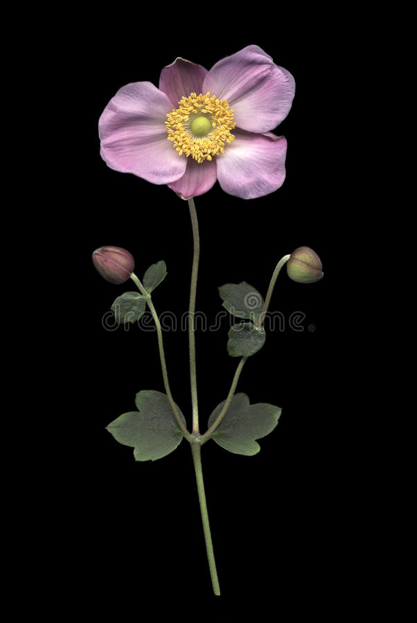 Pink Japanese Anemone on Black stock photo