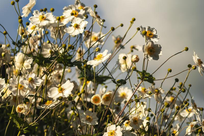 Japanese Anemone. Anemone hupehensis, also known as thimble weed or windflower with the sky as background. 29 September 2007 royalty free stock photography