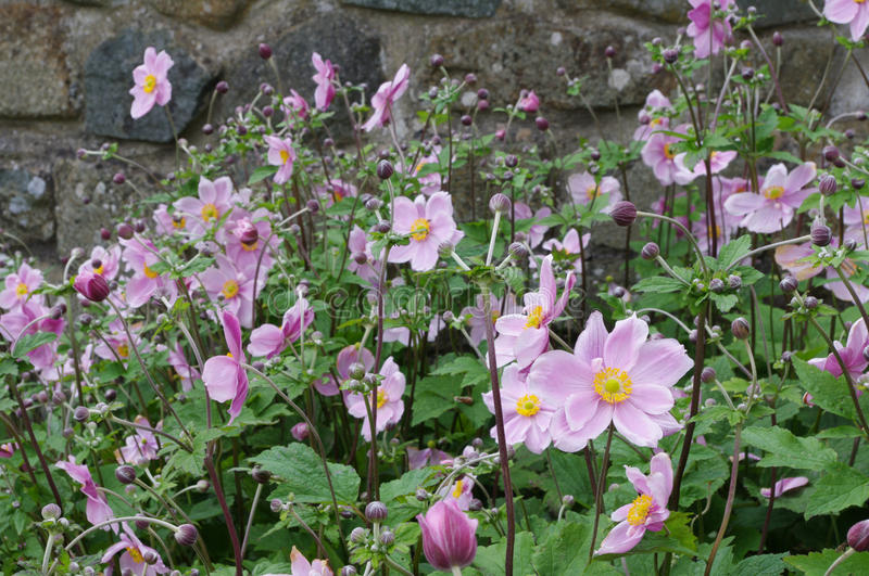 Japanese Anemones by stone wall. A group of pink Japanese Anemones with a stone wall behind stock photo