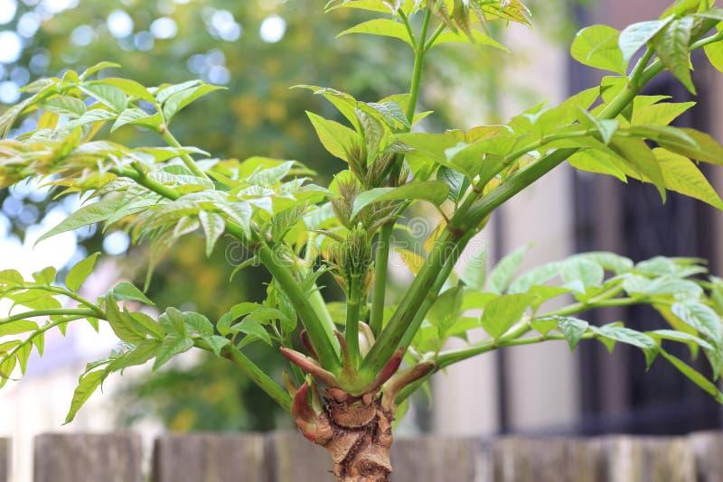Japanese angelica-tree. (Aralia elata) in Japan royalty free stock photo