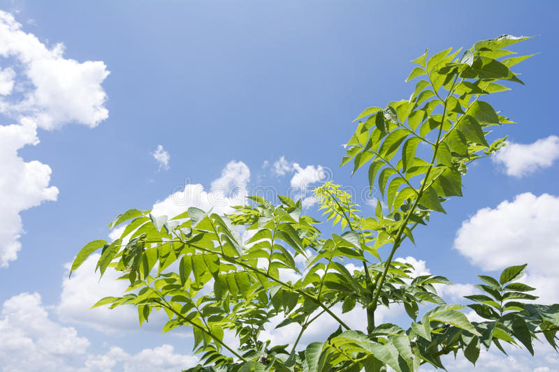 Japanese angelica tree. Under sky with clouds in summer royalty free stock photography