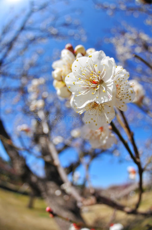 Download Japanese apricot stock photo. Image of flower, white - 13709288