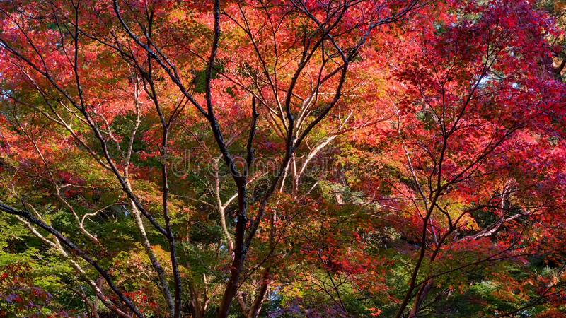 Japanese autumn maple forest stock images