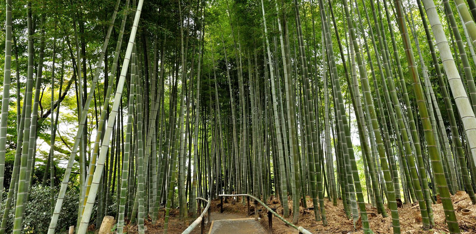 Japanese bamboo forest. Kyoto bamboo forest in a temple garden royalty free stock photo