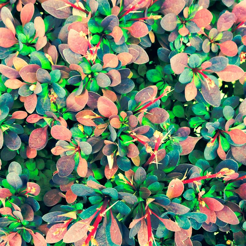 Japanese Barberry As A Texture Free Public Domain Cc0 Image