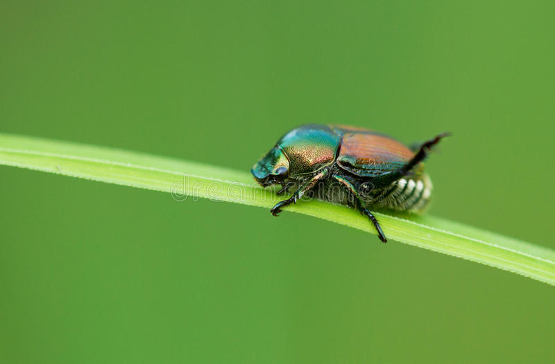 Download Japanese beetle stock image. Image of close, green, japanese - 25804885