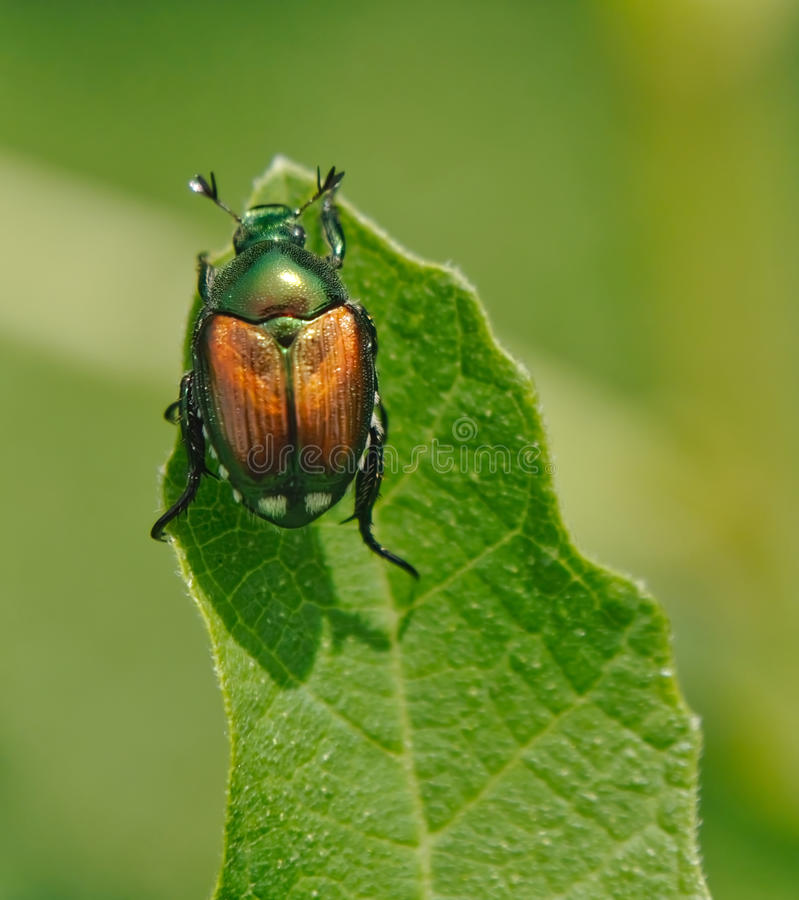 Japanese Beetle. Close up view of Japanese Beetle on leaf royalty free stock image