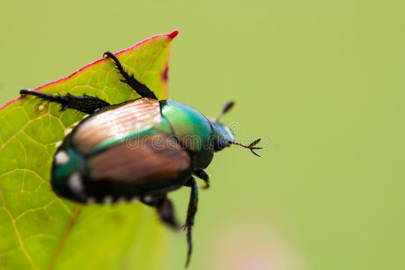 Japanese Beetle Popillia japonica on Leaf. Japanese Beetle Popillia japonica on fruit tree leaf royalty free stock images