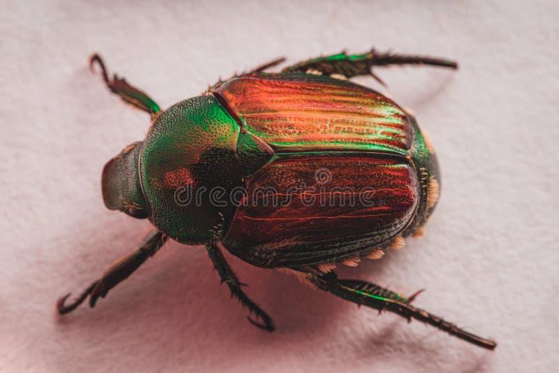 Japanese Beetle Popillia japonica stock images