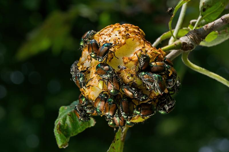Japanese beetles devouring apple. Japanese beetles Popillia japonica devouring a hanging apple. It is an incredibly destructive pest of ornamental plants and royalty free stock photos