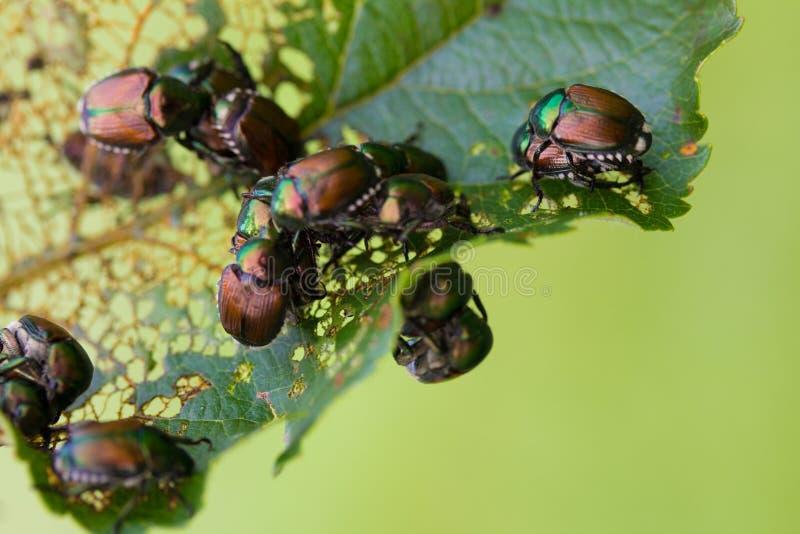 Japanese Beetles Popillia japonica on Leaf. Japanese Beetles Popillia japonica on fruit tree leaf stock images
