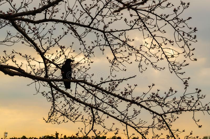 Japanese black crow perched on branch of cherry blossom tree with cloudy sunset sky in backgroud stock photography