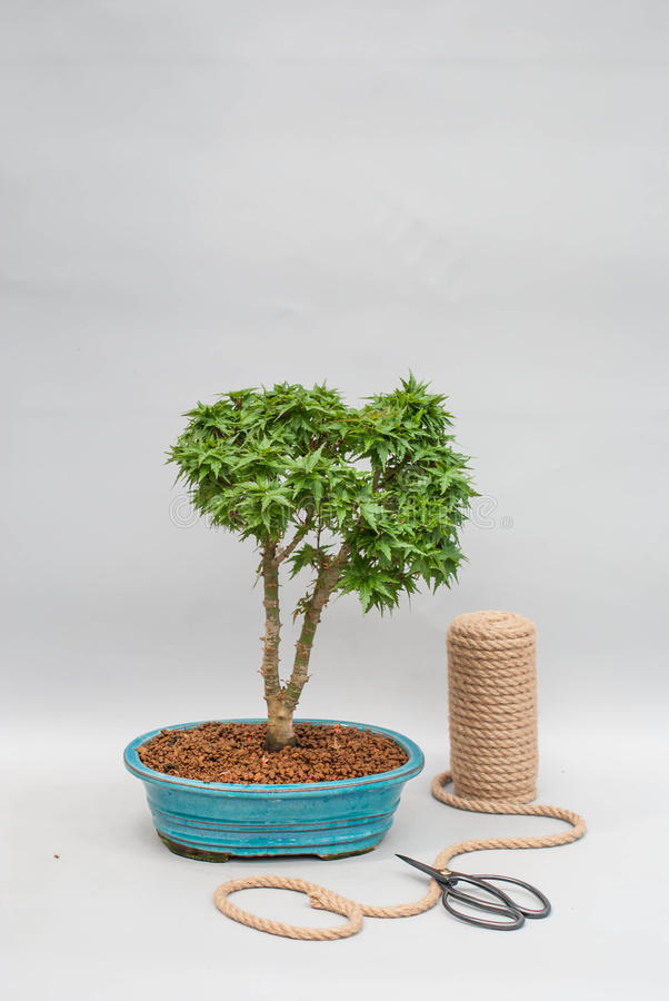 Japanese Bonsai In A Ceramic Pot For Indoor Plants. Stock Photo ...
