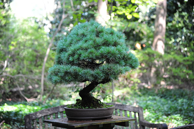 Japanese Bonsai Tree. Bonsai is a Japanese art form using miniature trees grown in containers. Similar practices exist in other cultures, including the Chinese stock images