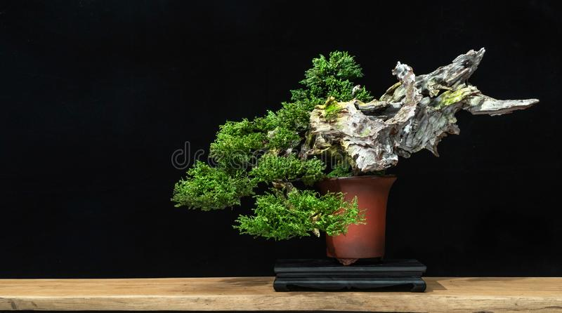 Japanese bonsai tree on a black back wooden floor. Bonsai style used for decoration. Bonsai is used to decorate the shop. Japanese bonsai tree on a black back royalty free stock image