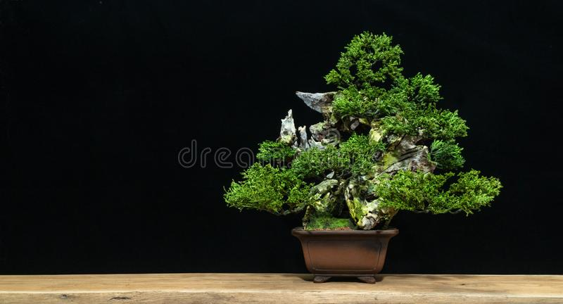 Japanese bonsai tree on a black background. Bonsai style. Used to decorate. Bonsai style used for decoration. Bonsai is used to decorate the shop. Japanese stock photography