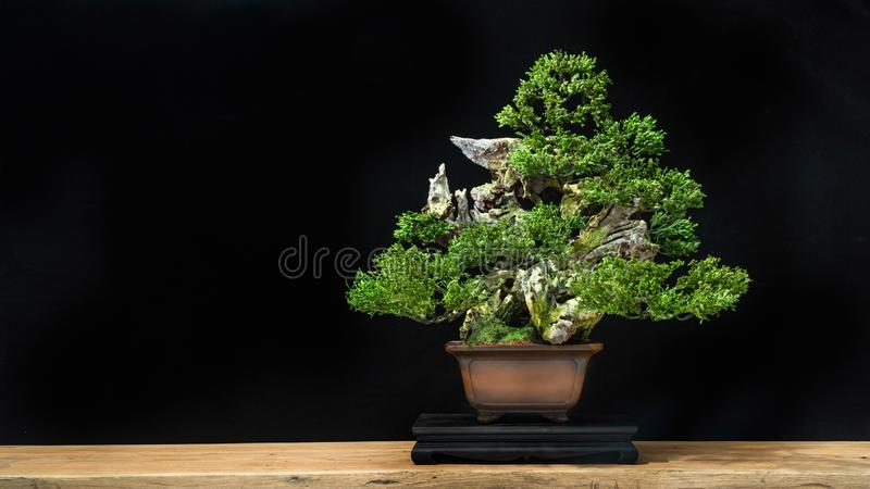 Bonsai is used to decorate the shop. Japanese bonsai tree on a black back wooden floor. Bonsai style used for decoration. Japanese bonsai tree on a black royalty free stock image