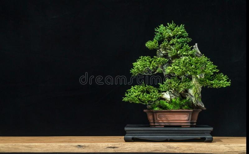 Bonsai is used to decorate the shop. Japanese bonsai tree on a black back wooden floor. Bonsai style used for decoration. Japanese bonsai tree on a black stock image