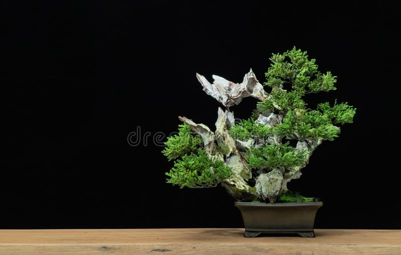 Japanese bonsai tree on a black background. Bonsai style. Used to decorate. Japanese bonsai tree has a beautiful green color placed on a white wooden table stock image