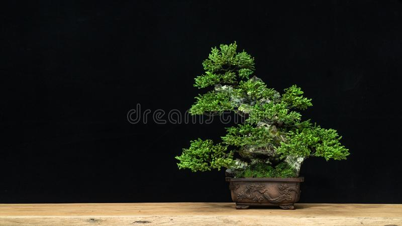 Japanese bonsai tree on a black background. Bonsai style. Used to decorate. Japanese bonsai trees, on a white background and black silhouette of bonsai. used as royalty free stock images