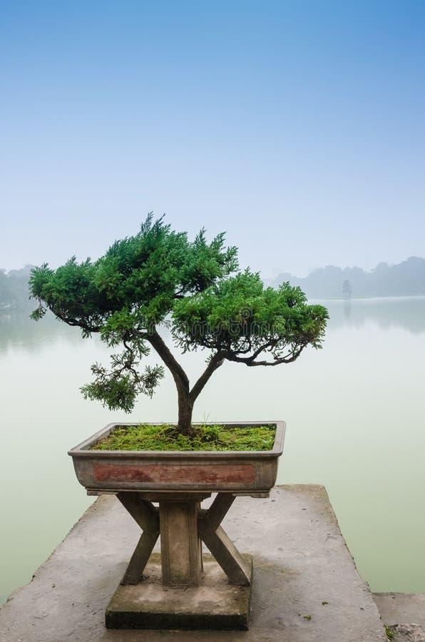 Japanese bonsai tree in pot at zen garden stock image