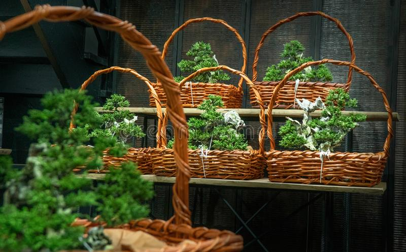 Bonsai prepared as a gift for customers at the festival Placed in basket. The Japanese bonsai tree is prepared in a basket as a gift for customers in various royalty free stock images