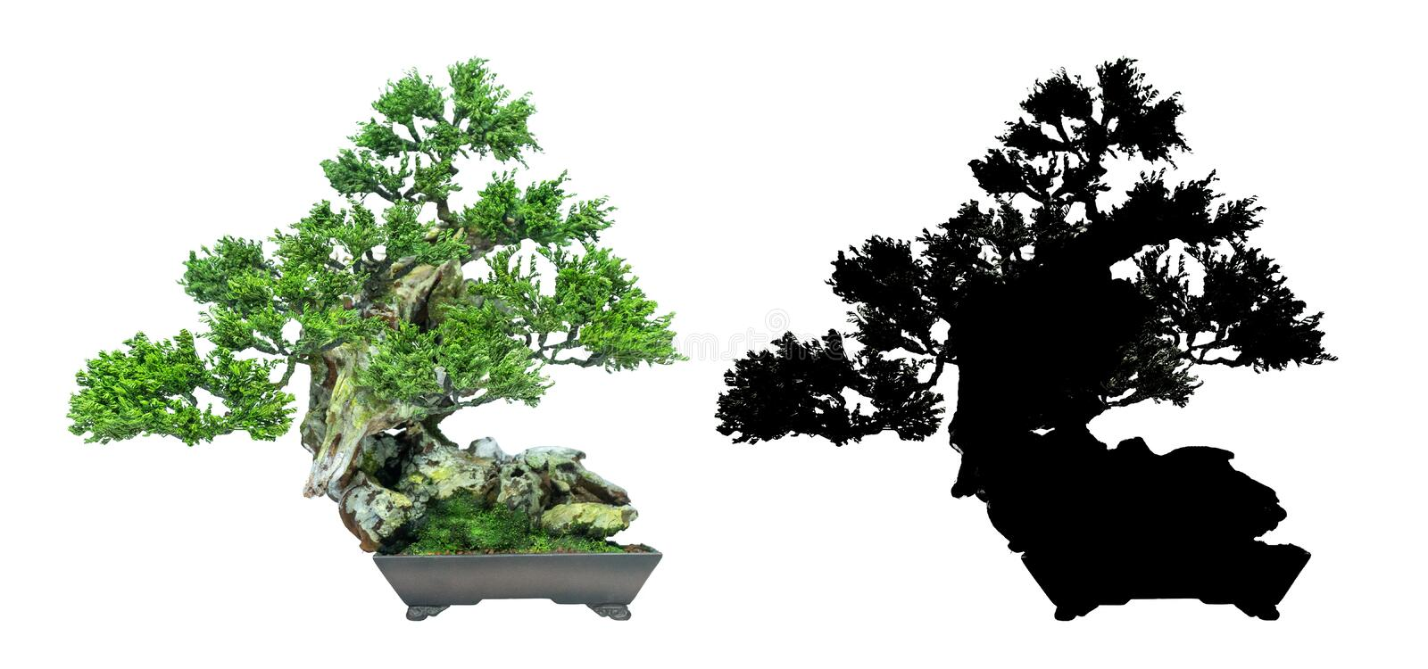 Bonsai trees, on a white background and black silhouette of bonsai. Japanese bonsai trees, on a white background and black silhouette of bonsai. used as a logo vector illustration