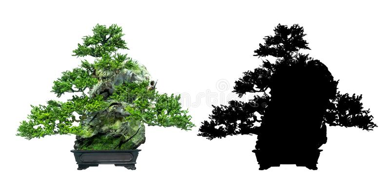 Japanese bonsai trees, on a white background and black silhouette of bonsai. royalty free stock images