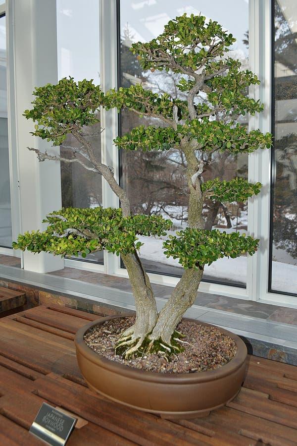 Japanese Boxwood Bonsai Tree stock images