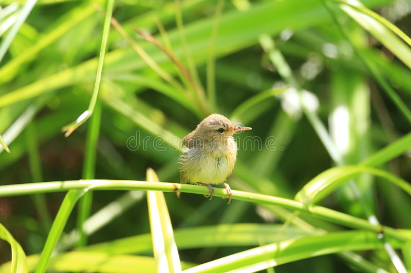 Japanese Bush Warbler. (Horornis diphone diphone) in Ogasawara Island stock photos