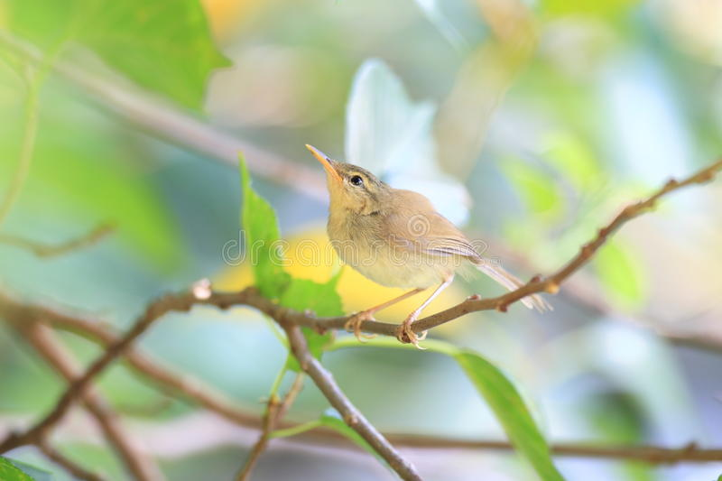 Japanese Bush Warbler. (Horornis diphone diphone) in Ogasawara Island royalty free stock photos