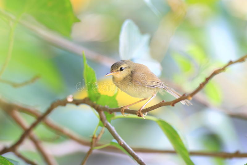 Japanese Bush Warbler. (Horornis diphone diphone) in Ogasawara Island royalty free stock photography