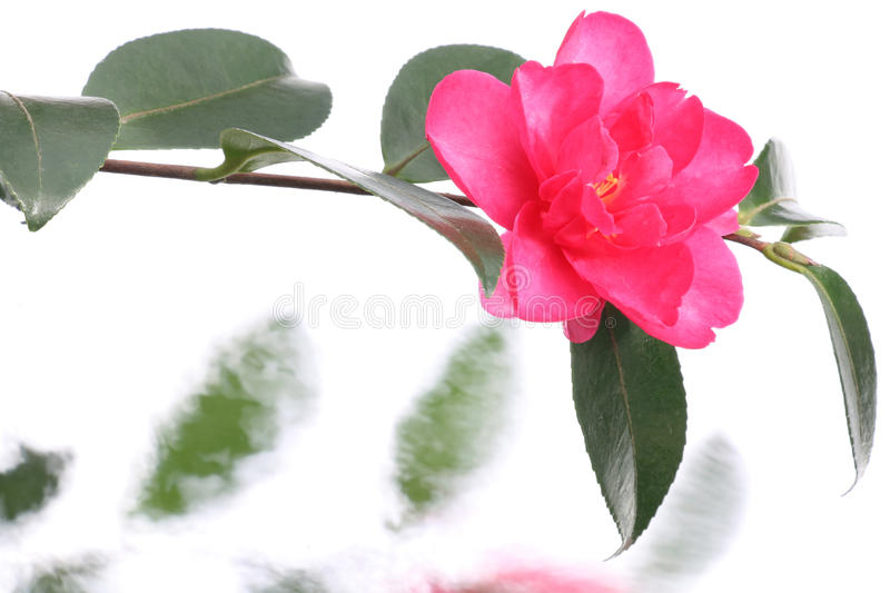 Japanese camellia flower on water flow background. Japanese pink camellia flower on water flow background royalty free stock photo