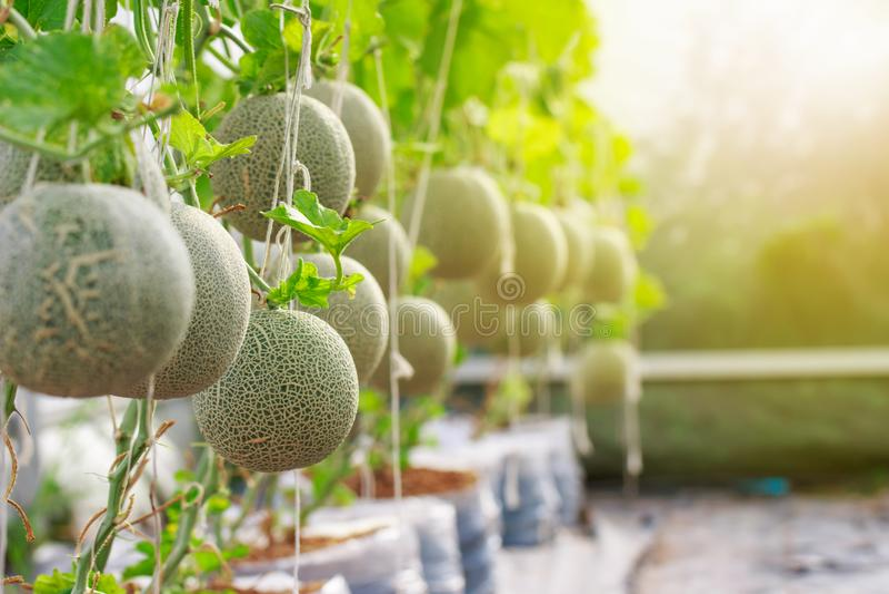 Close up of organic fresh japanese cantaloupe melon farm royalty free stock image