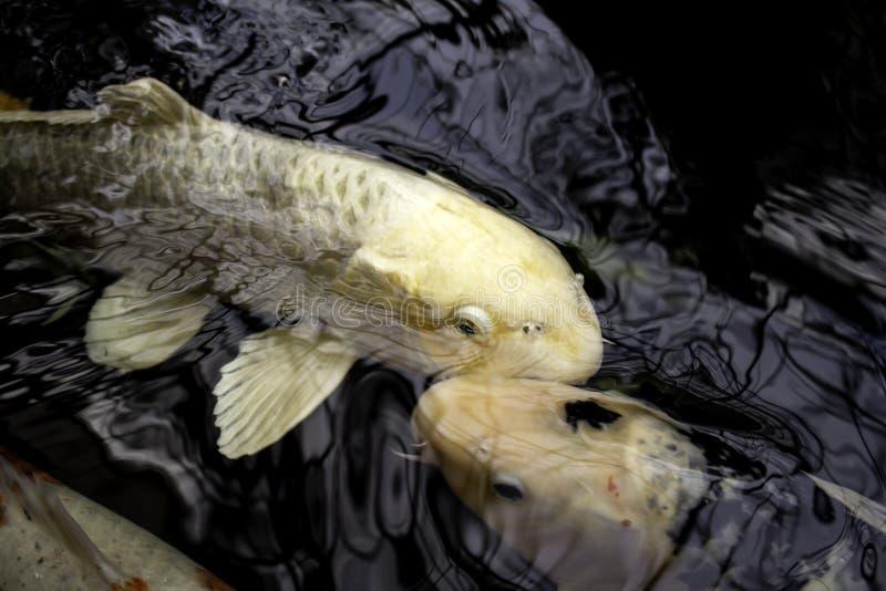 Japanese carps. In lake, Buddhist meditation, marine animals, fish, tropical, swim, colorful, aquatic, orange, water, pond, nature, beautiful, yellow stock image