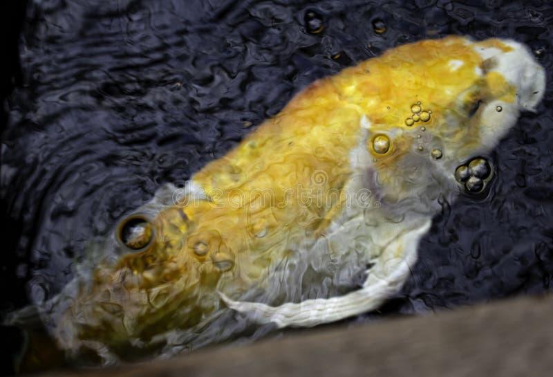 Japanese carps. In lake, Buddhist meditation, marine animals, fish, tropical, swim, colorful, aquatic, orange, water, pond, nature, beautiful, yellow royalty free stock photo