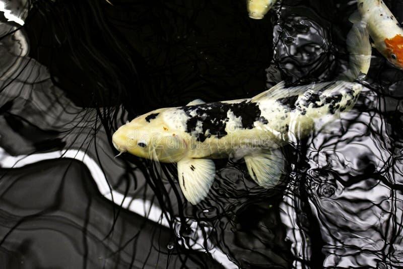 Japanese carps. In lake, Buddhist meditation, marine animals, fish, tropical, swim, colorful, aquatic, orange, water, pond, nature, beautiful, yellow royalty free stock photography