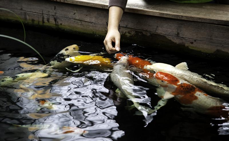 Japanese carps. In lake, Buddhist meditation, marine animals, fish, tropical, swim, colorful, aquatic, orange, water, pond, nature, beautiful, yellow stock photos