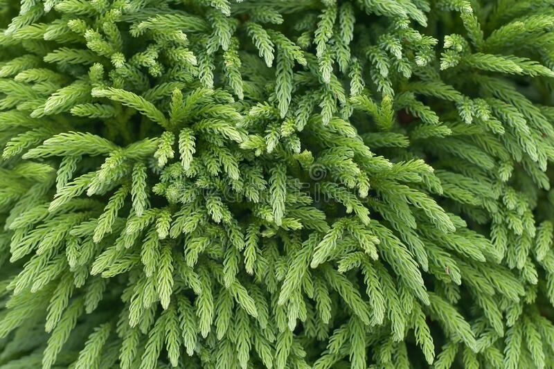 Cryptomeria Japonica Stock Photos Download 163 Royalty Free Photos