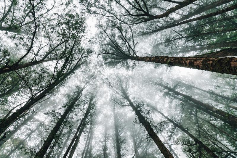 Japanese Cedar trees in the forest with fog that look from below in Alishan National Forest Recreation Area in Chiayi County stock images