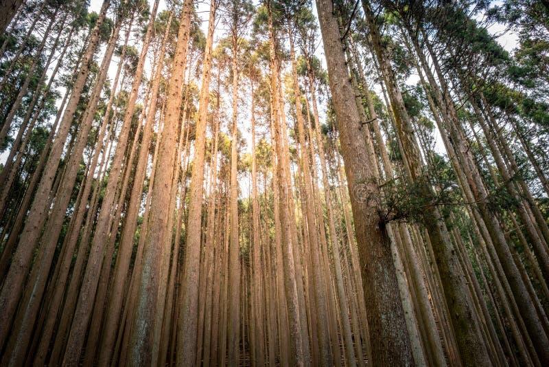 Japanese cedars and pine forest around Tanuki Lake Tanukiko . Japanese cedars and pine forest around Tanuki Lake Tanukiko at Tokai Nature Trail, Shizuoka royalty free stock photo