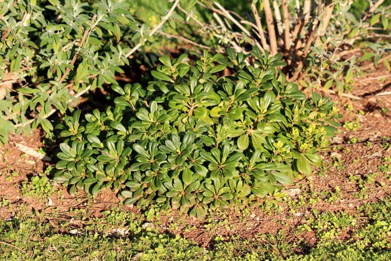 leaves fleshy Asian plant