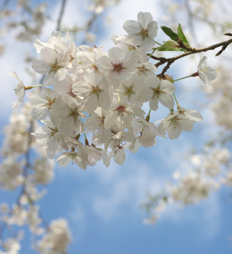 Japanese Cherries royalty free stock photography