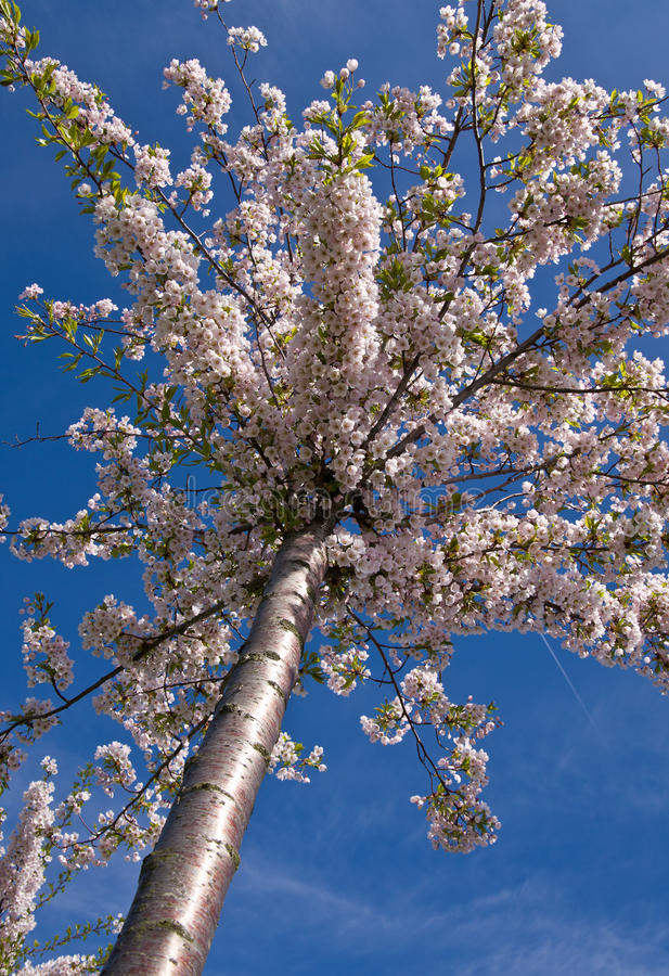 Download Japanese cherry stock photo. Image of growth, blue, blossom - 17274980